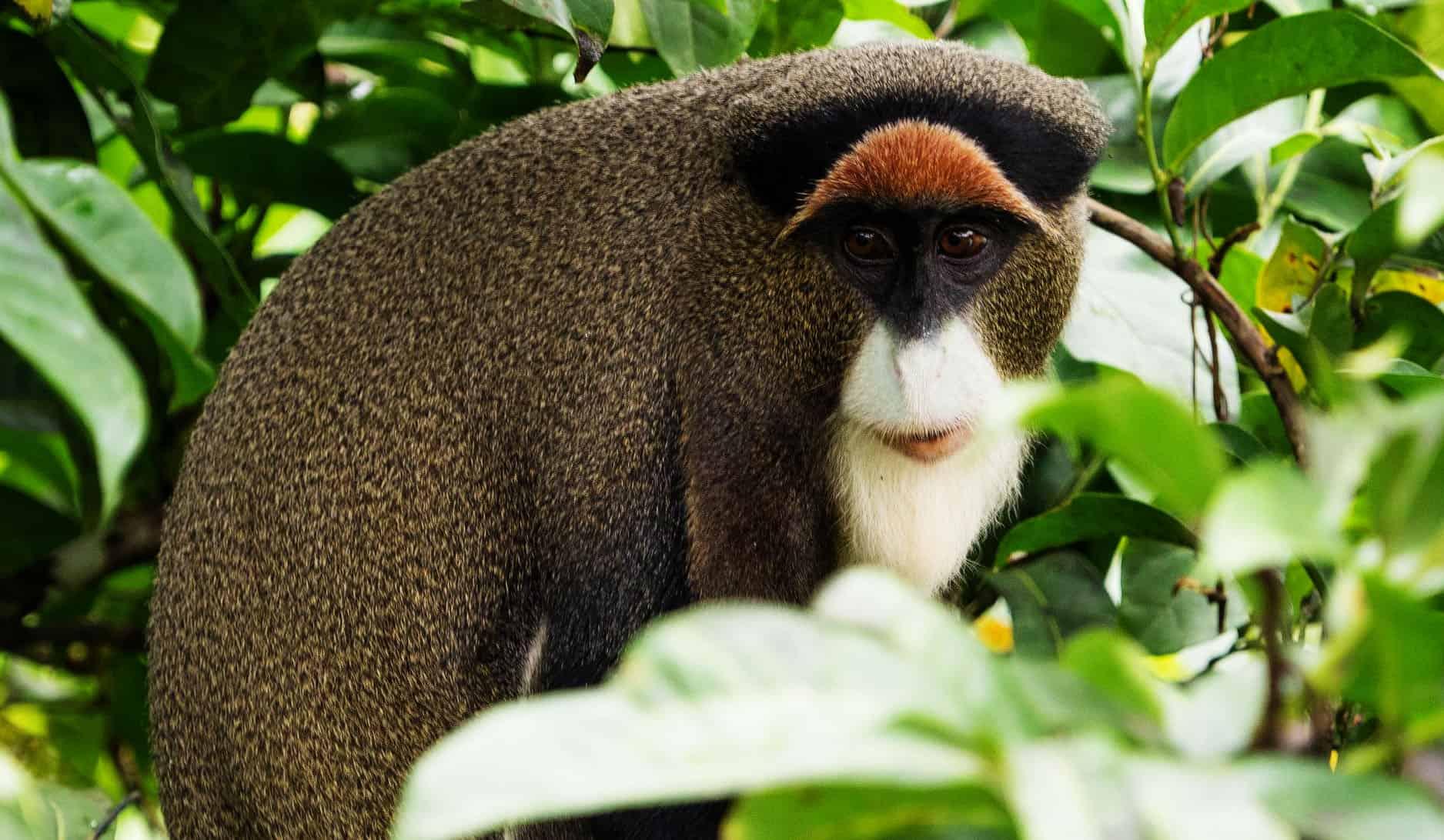 De Brazza's Monkey, Green Monkey Horse, The White Lion Cubs