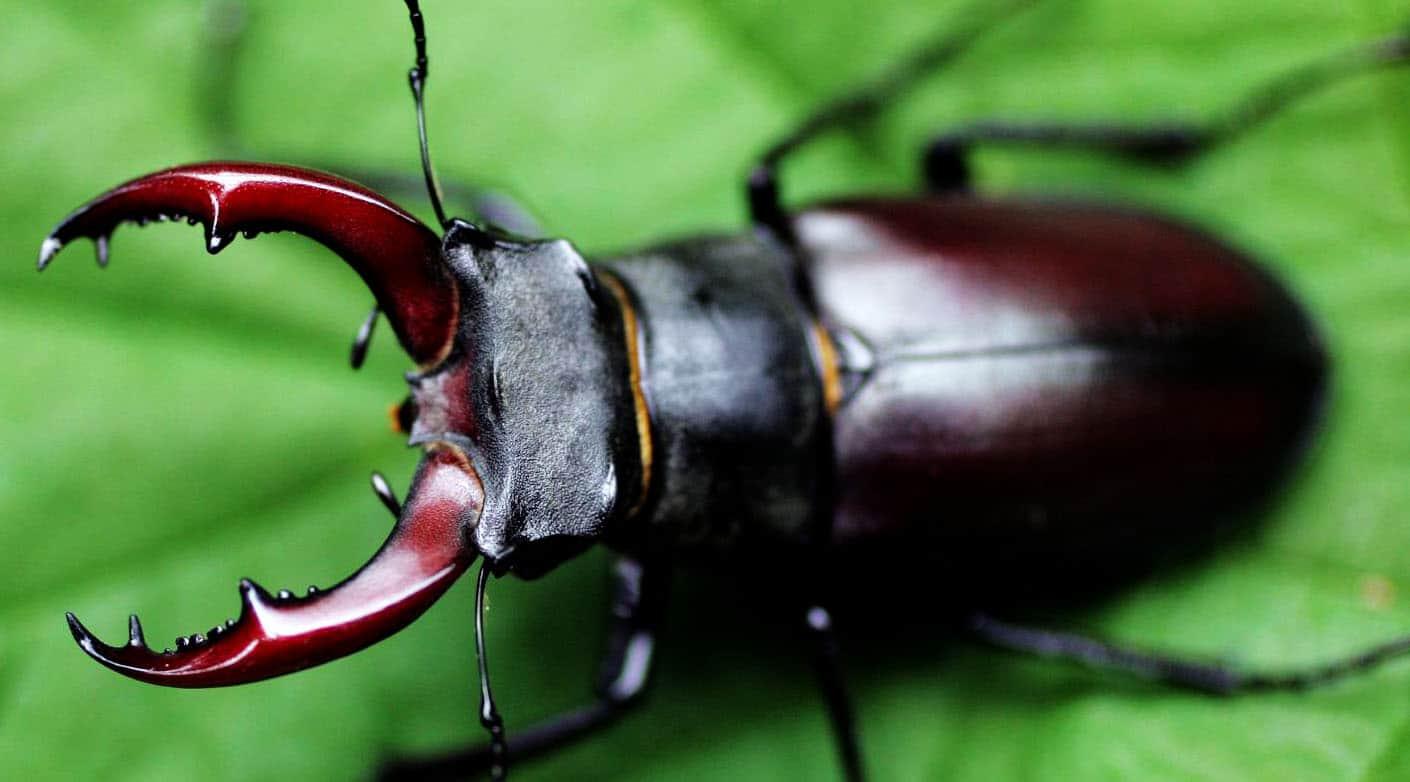 Stag Beetle,