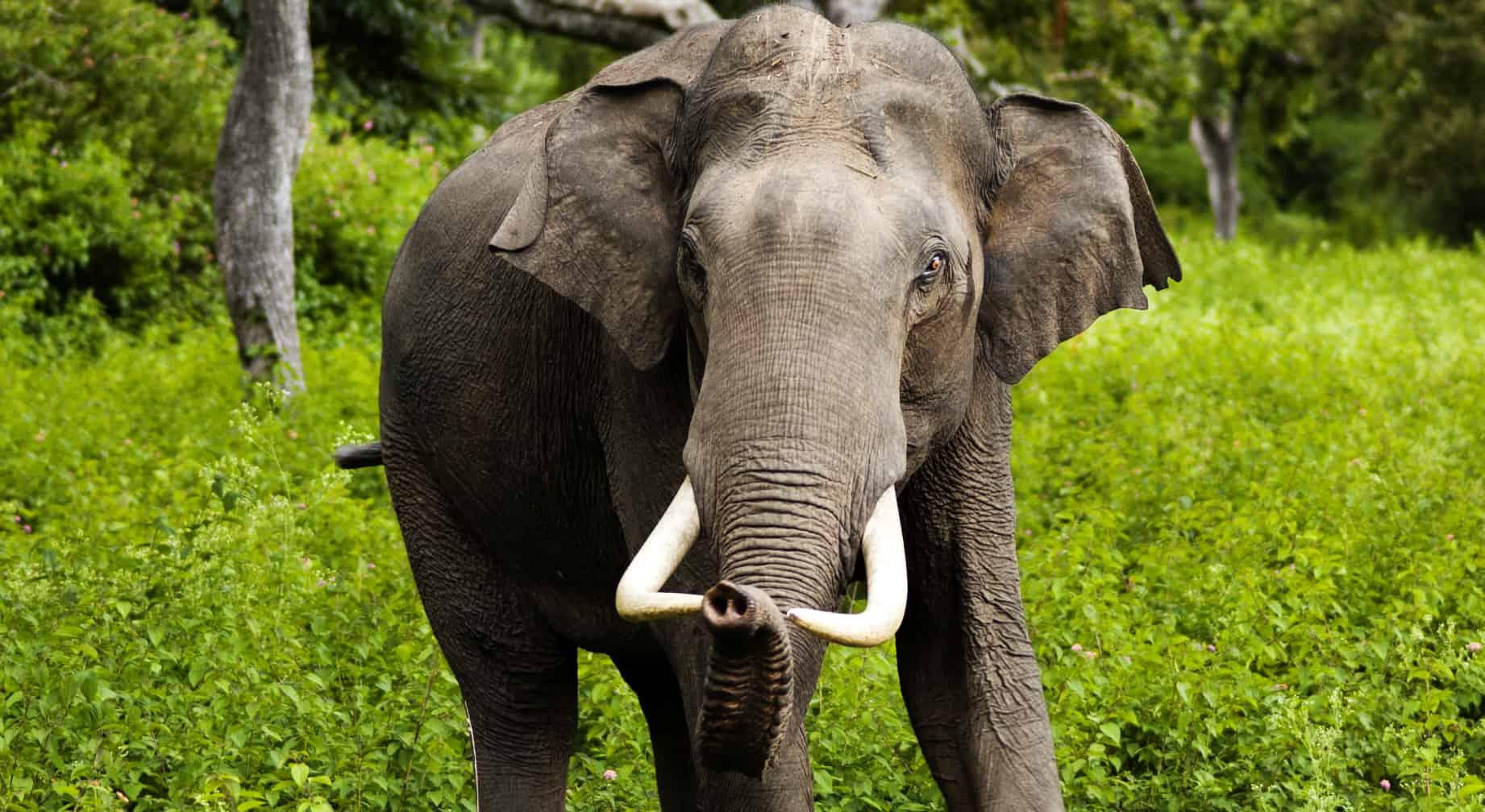 Aisan Elephant